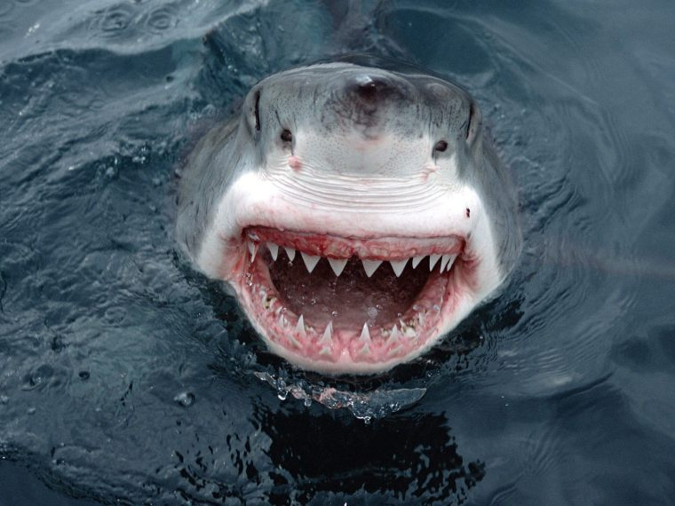 great-white-shark-smile