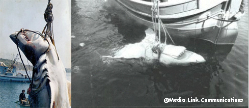 "The ""Malta"" shark, caught off Malta in 1987. It was estimated at 23.4 ft. total length."