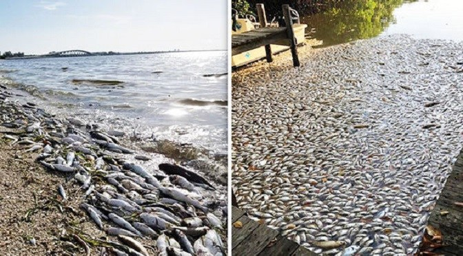 florida-red-tide-toxic-algae-dead-fish-florida-coast-998147