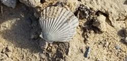 Fossil scallops